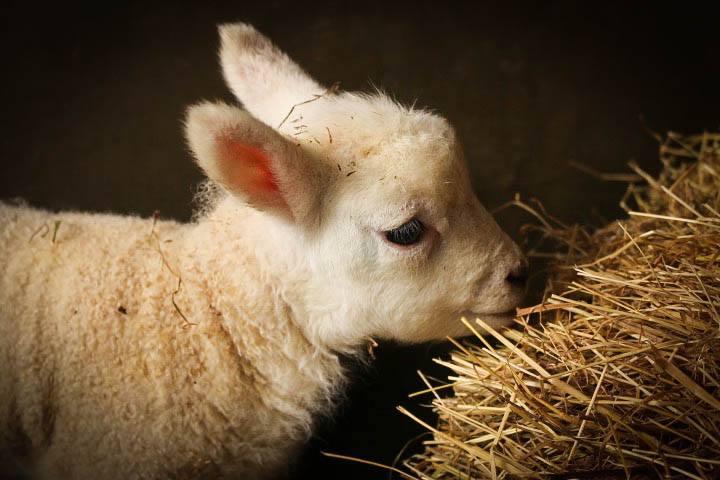 Pobble lamb quick write